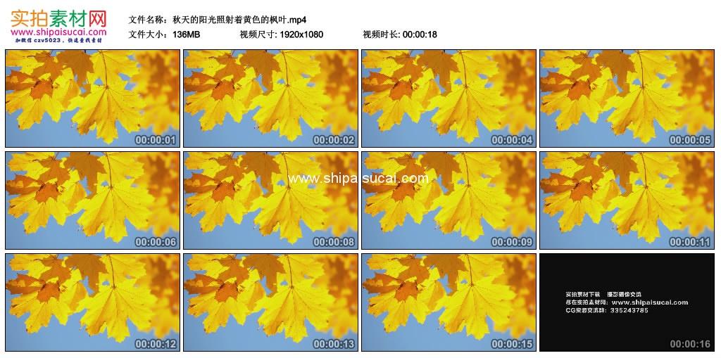 高清实拍视频素材丨秋天的阳光照射着黄色的枫叶 视频素材-第1张