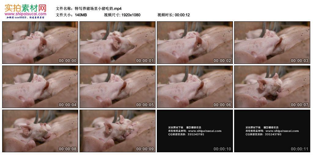 高清实拍视频素材丨特写养猪场里小猪吃奶 视频素材-第1张