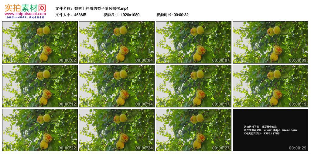 高清实拍视频素材丨梨树上挂着的梨子随风摇摆 视频素材-第1张