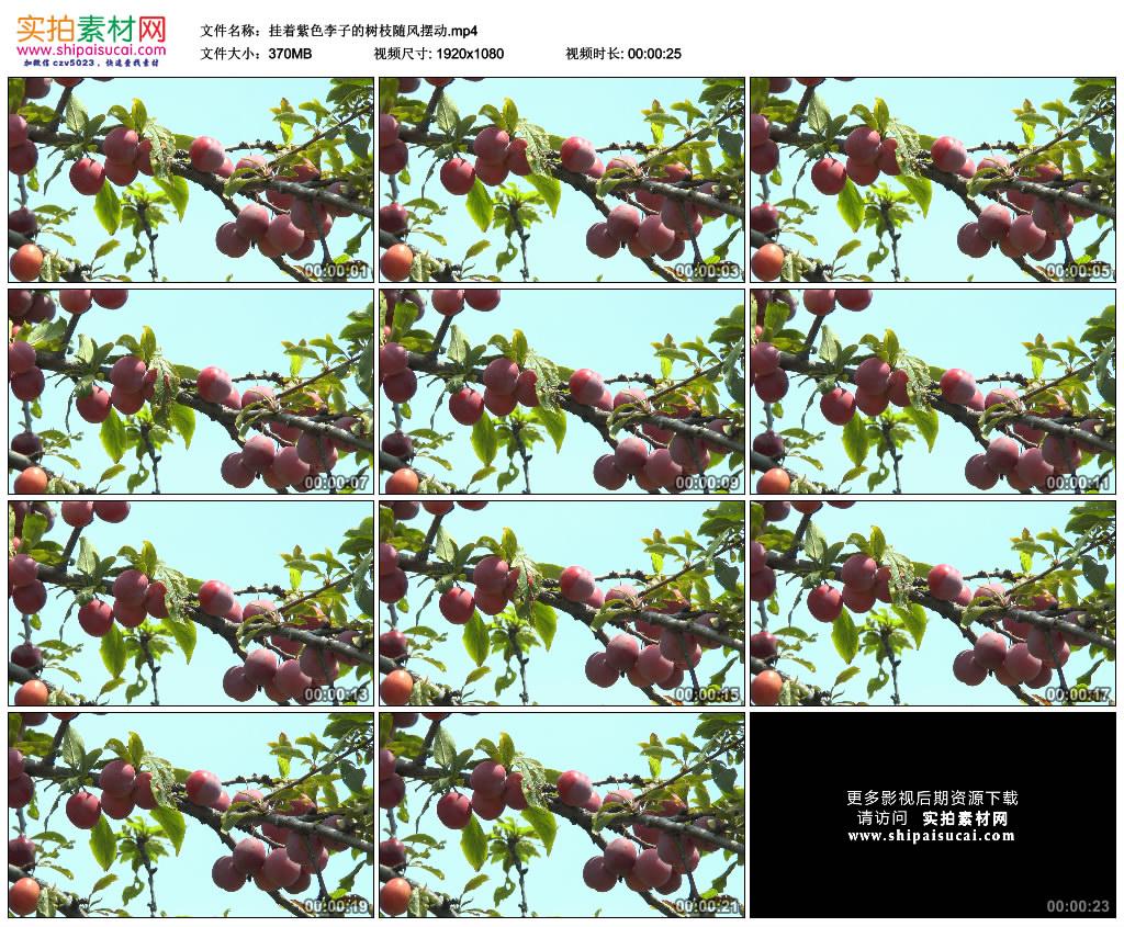 高清实拍视频素材丨挂着紫色李子的树枝随风摆动 视频素材-第1张
