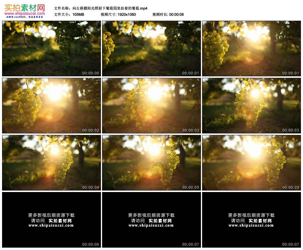 高清实拍视频素材丨向左移摄阳光照射下葡萄园里挂着的葡萄 视频素材-第1张