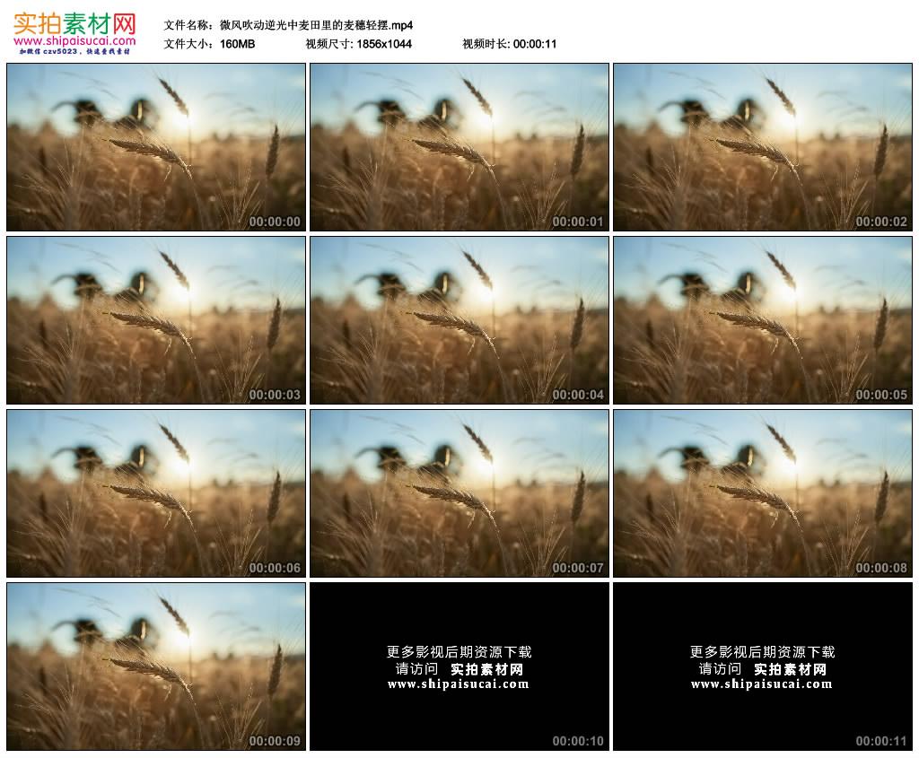 高清实拍视频素材丨微风吹动逆光中麦田里的麦穗轻摆 视频素材-第1张
