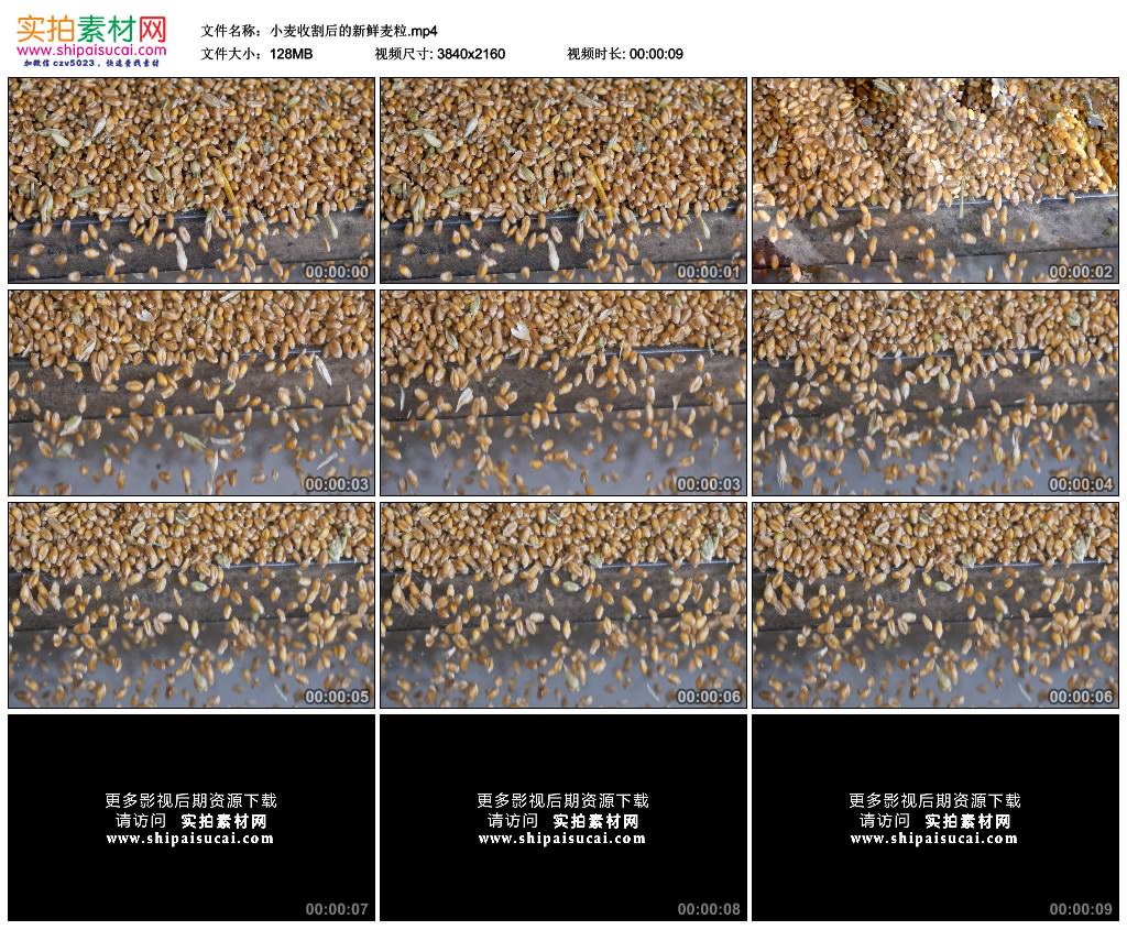 4K实拍视频素材丨小麦收割后的新鲜麦粒 4K视频-第1张