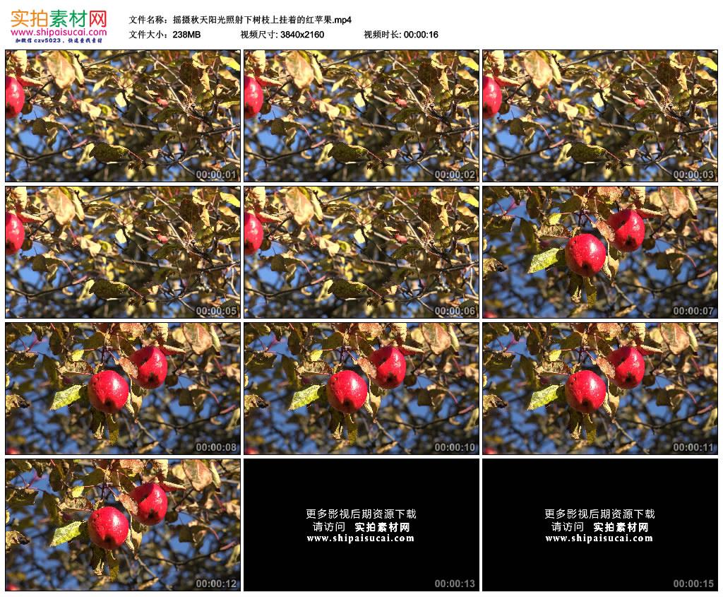 4K实拍视频素材丨摇摄秋天阳光照射下树枝上挂着的红苹果 4K视频-第1张