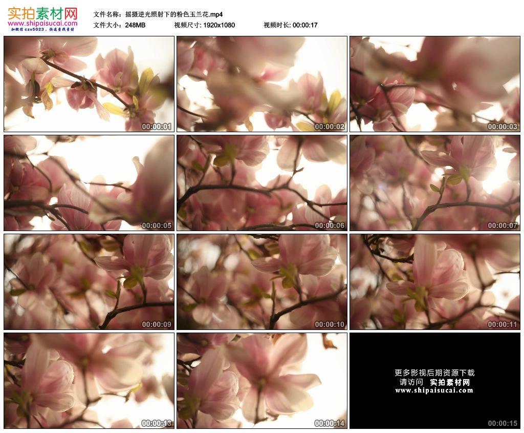 高清实拍视频素材丨摇摄逆光照射下的粉色玉兰花 视频素材-第1张