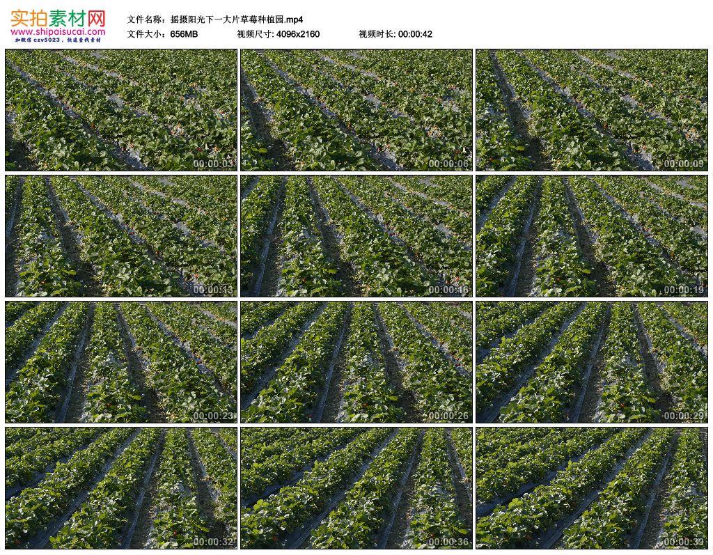 4K实拍视频素材丨摇摄阳光下一大片草莓种植园 4K视频-第1张