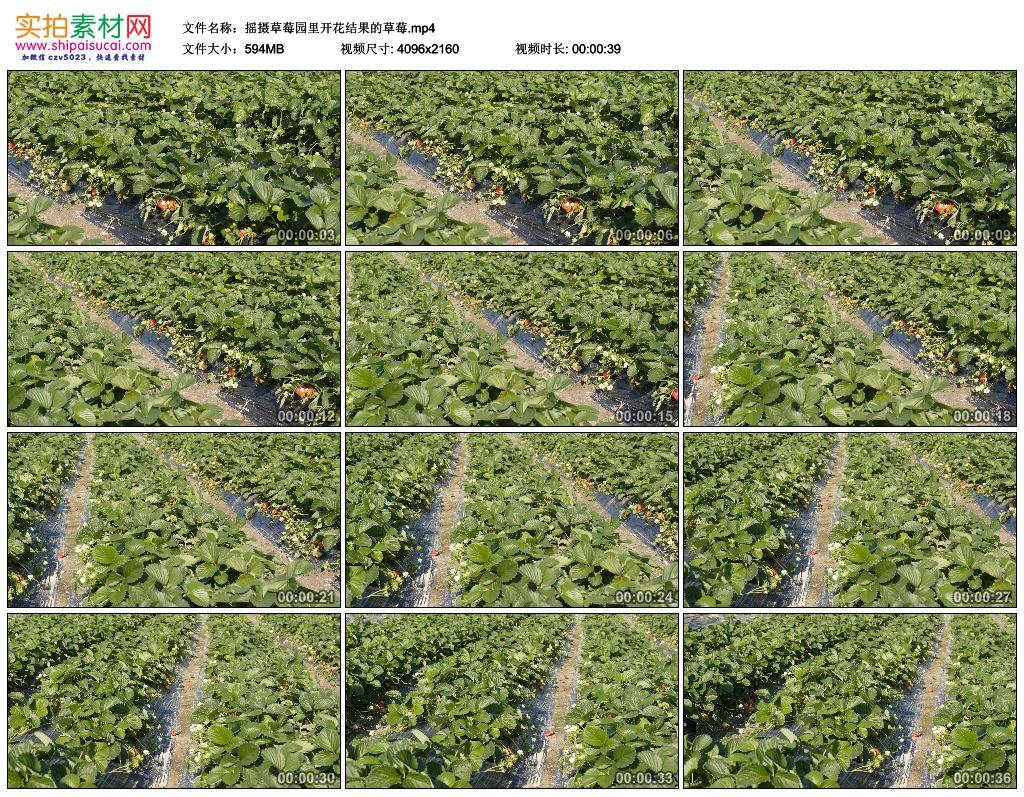 4K实拍视频素材丨摇摄草莓园里开花结果的草莓 4K视频-第1张