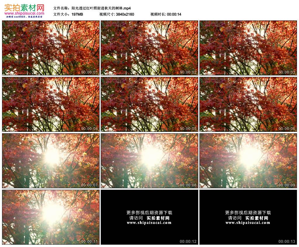 4K实拍视频素材丨阳光透过红叶照射进秋天的树林 4K视频-第1张