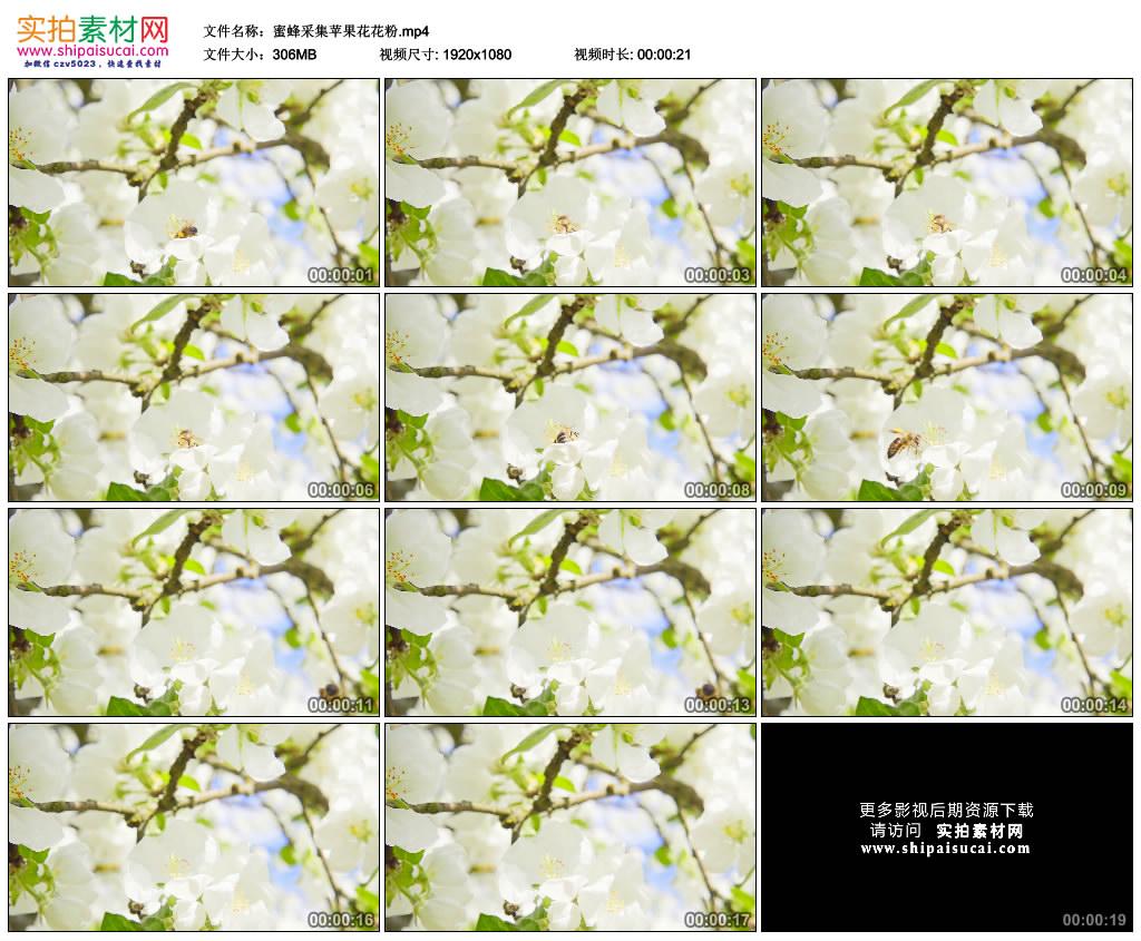 高清实拍视频素材丨蜜蜂采集苹果花花粉 视频素材-第1张