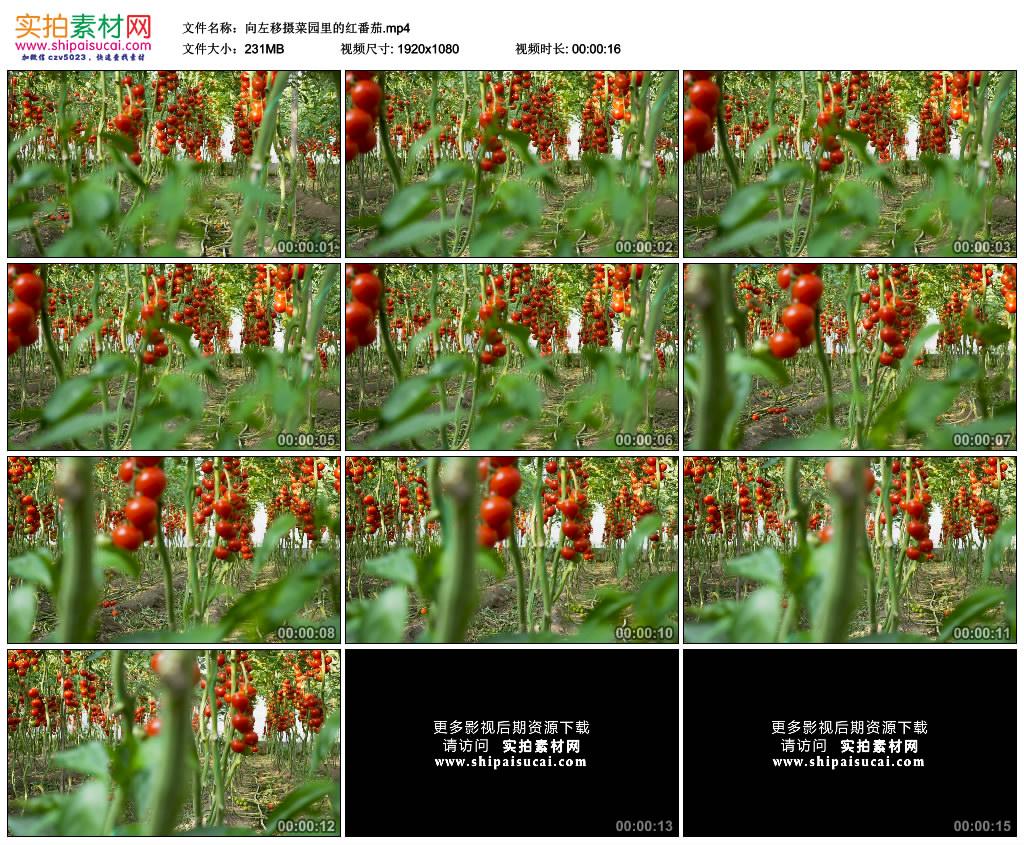 高清实拍视频素材丨向左移摄菜园里的红番茄 视频素材-第1张