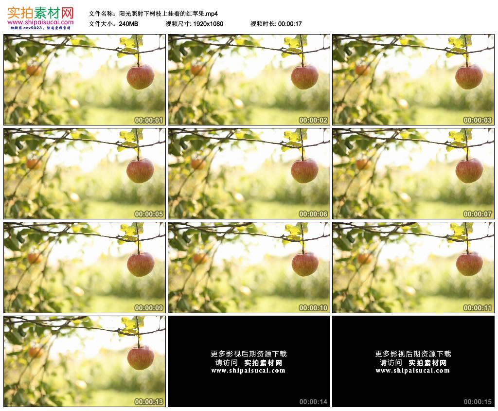 高清实拍视频素材丨阳光照射下树枝上挂着的红苹果 视频素材-第1张