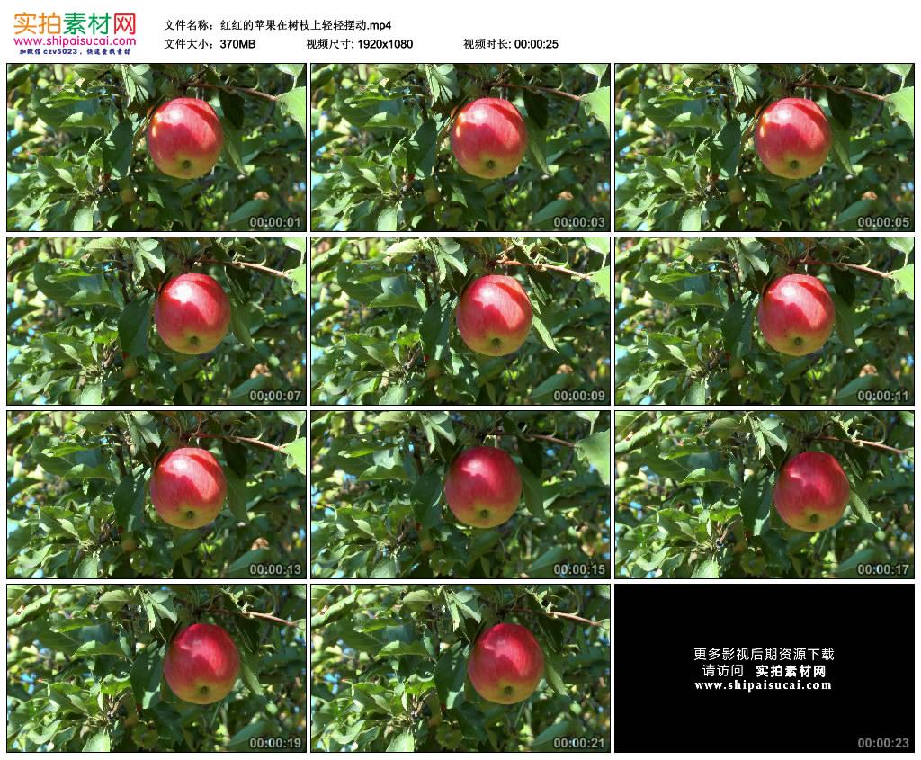 高清实拍视频素材丨红红的苹果在树枝上轻轻摆动 视频素材-第1张