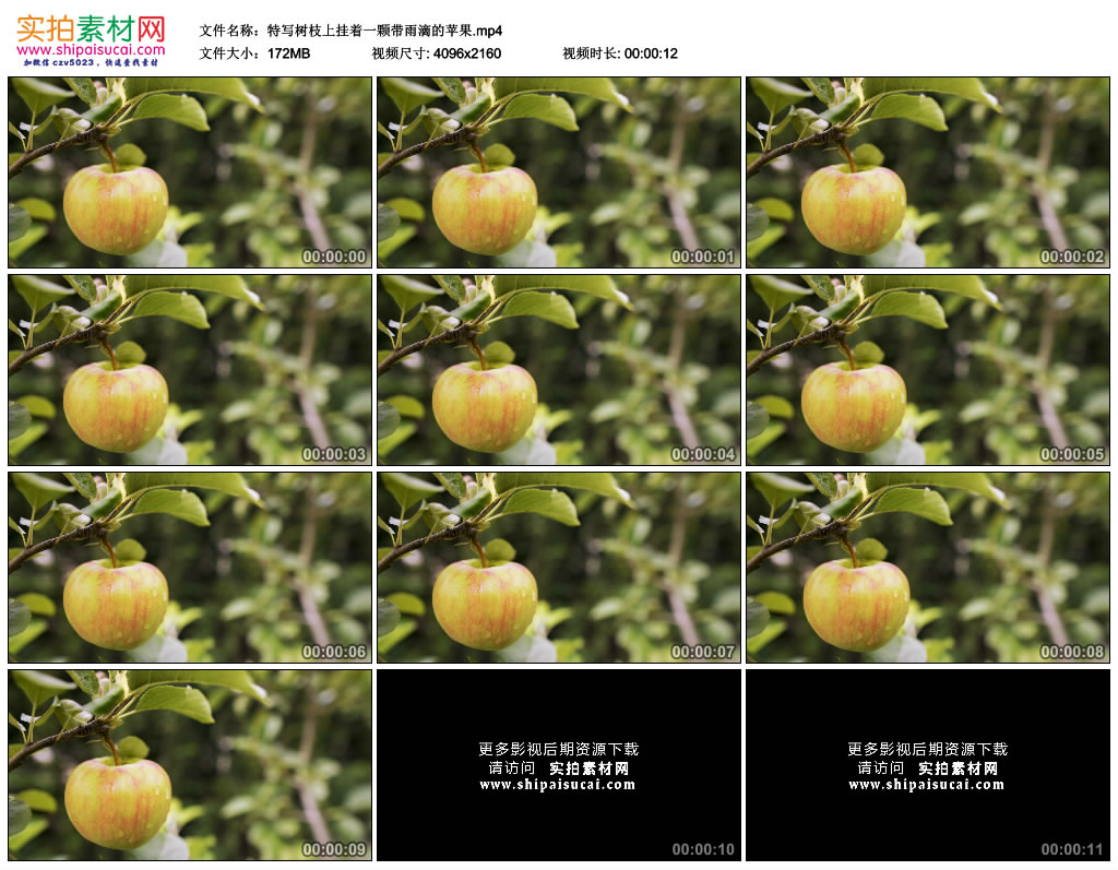 4K实拍视频素材丨特写树枝上挂着一颗带雨滴的苹果 4K视频-第1张