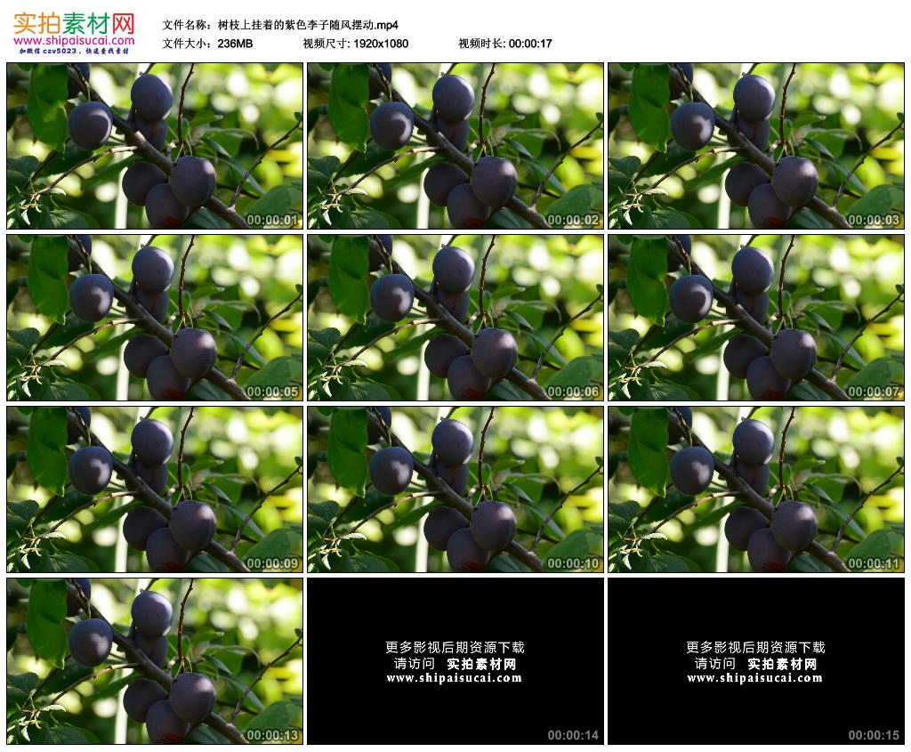 高清实拍视频素材丨树枝上挂着的紫色李子随风摆动 视频素材-第1张
