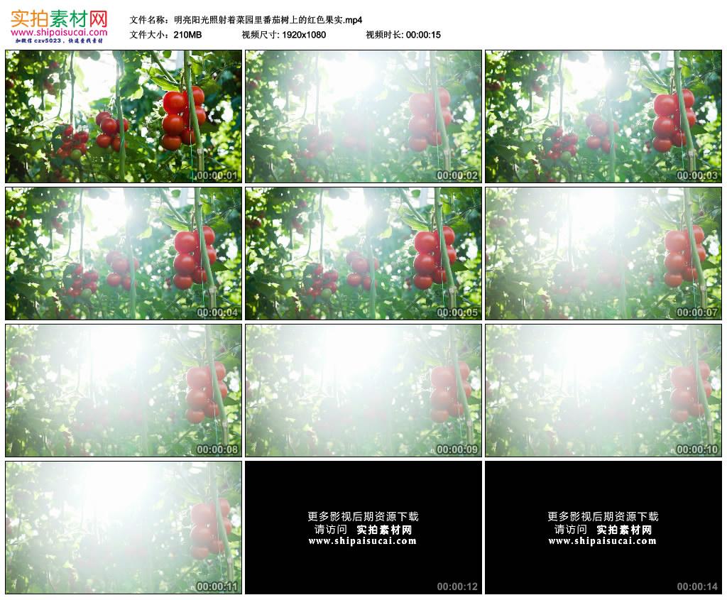 高清实拍视频素材丨明亮阳光照射着菜园里番茄树上的红色果实 视频素材-第1张