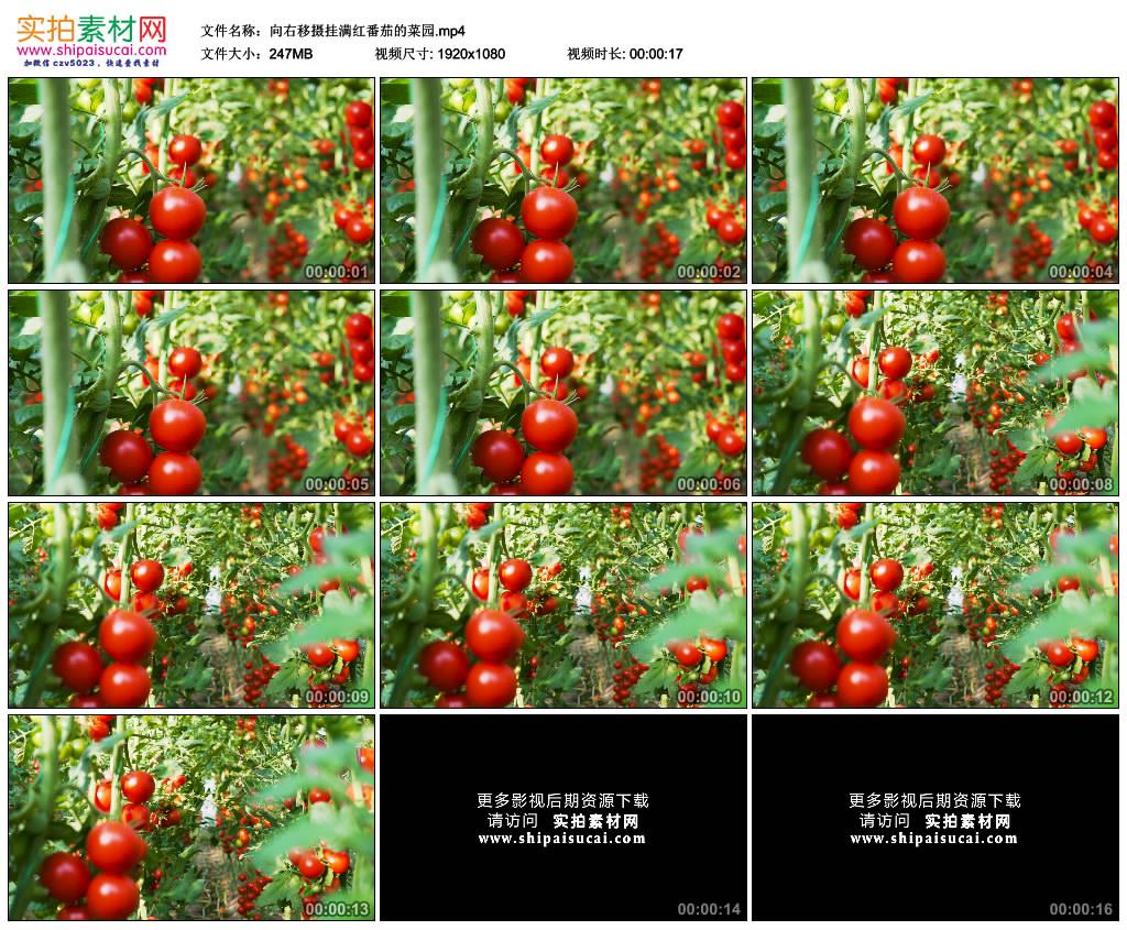 高清实拍视频素材丨向右移摄挂满红番茄的菜园 视频素材-第1张