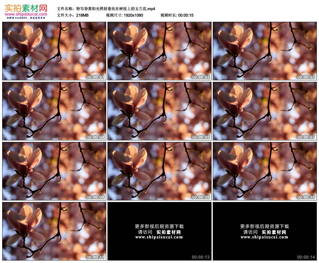 高清实拍视频素材丨特写昏黄阳光照射着挂在树枝上的玉兰花 视频素材-第1张