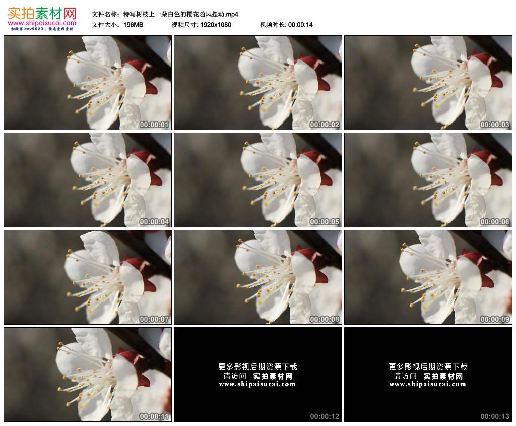 高清实拍视频素材丨特写树枝上一朵白色的樱花随风摆动 视频素材-第1张