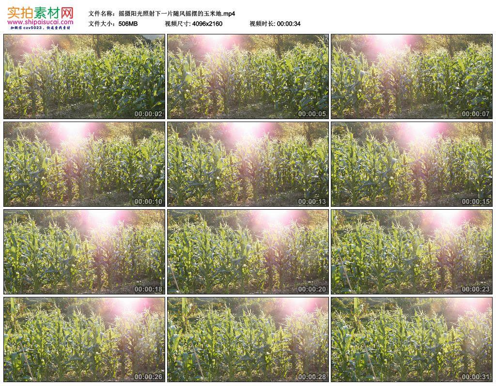 4K实拍视频素材丨摇摄阳光照射下一片随风摇摆的玉米地 4K视频-第1张