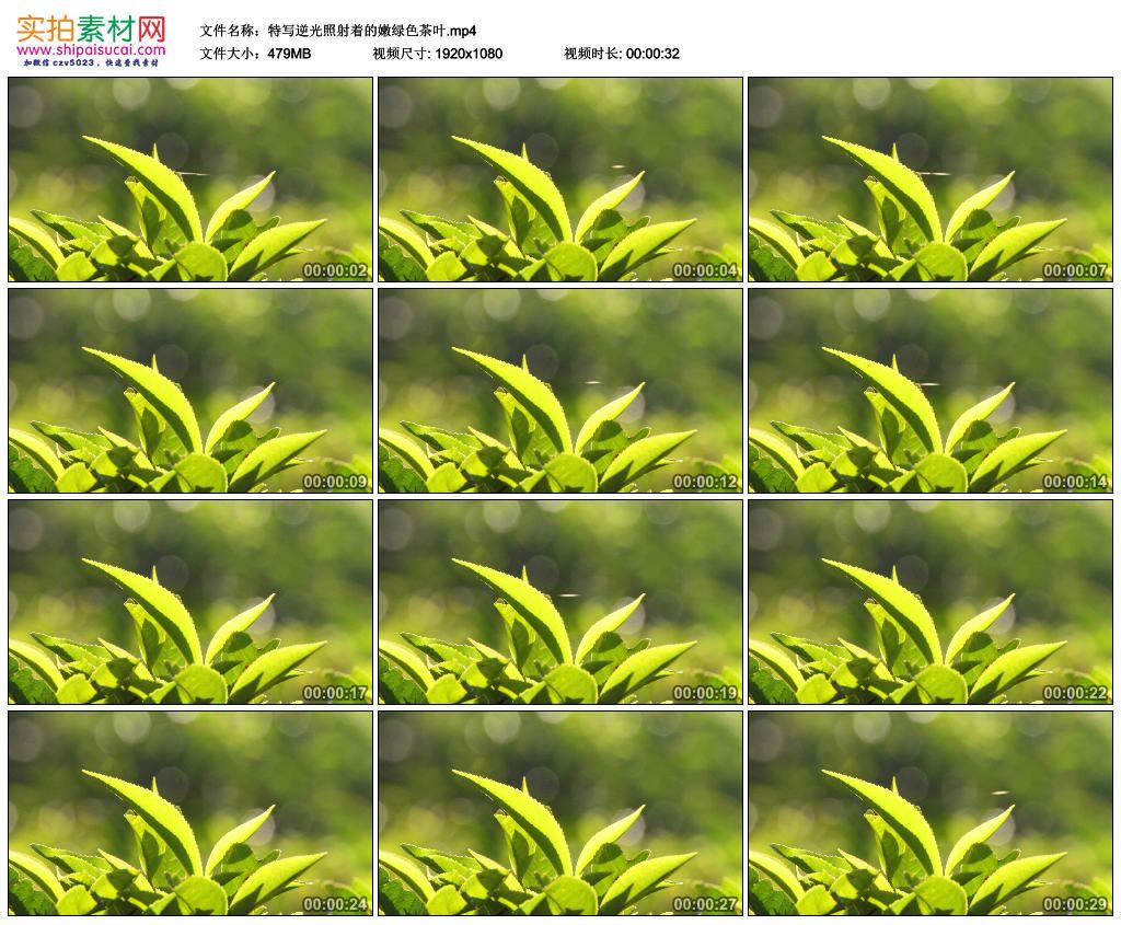 高清实拍视频素材丨特写逆光照射着的嫩绿色茶叶 视频素材-第1张