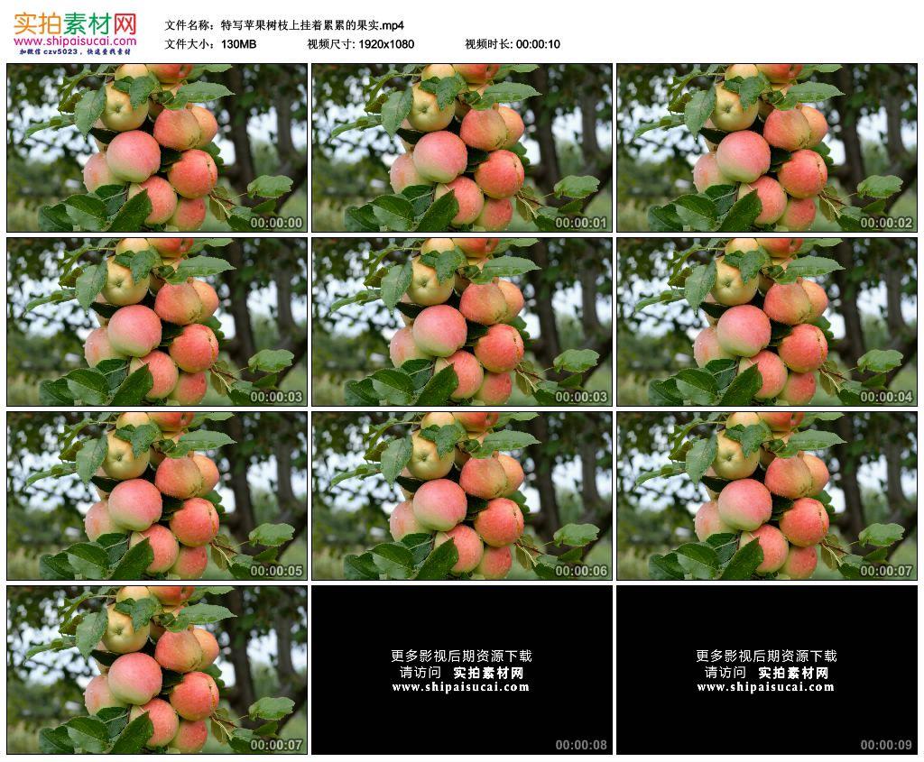 高清实拍视频素材丨特写苹果树枝上挂着累累的果实 视频素材-第1张