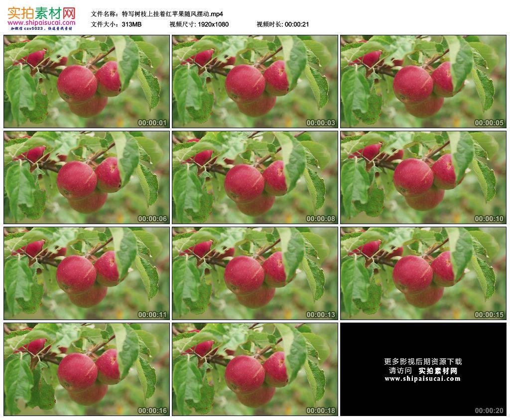 高清实拍视频素材丨特写树枝上挂着红苹果随风摆动 视频素材-第1张