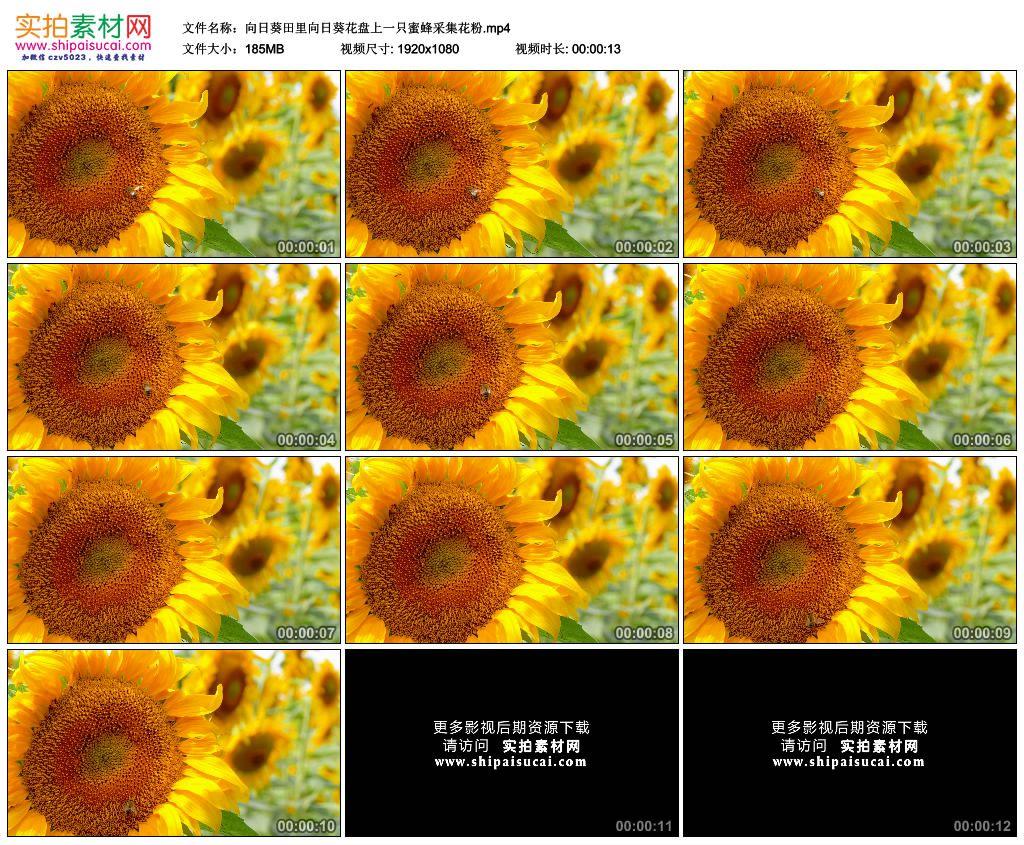 高清实拍视频素材丨向日葵田里向日葵花盘上一只蜜蜂采集花粉 视频素材-第1张