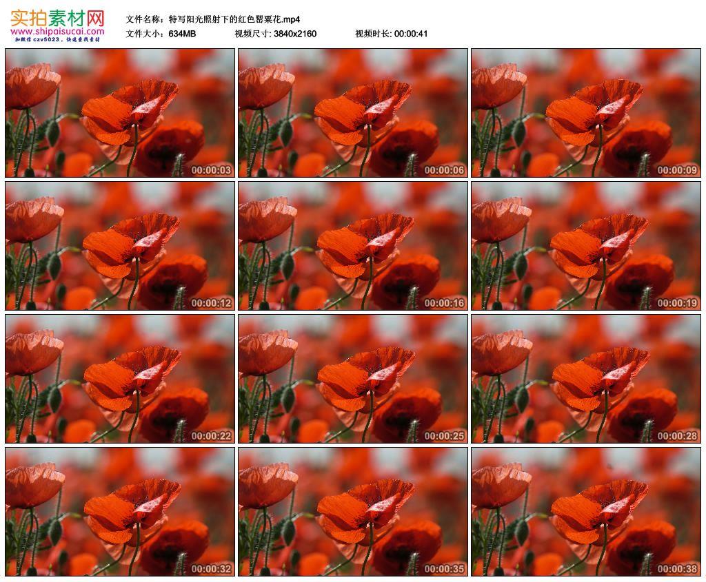 4K实拍视频素材丨特写阳光照射下的红色罂粟花 4K视频-第1张
