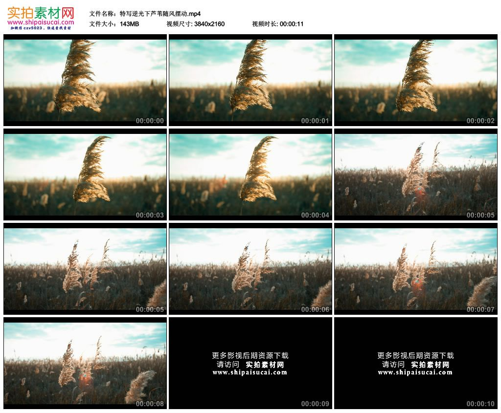 4K实拍视频素材丨特写逆光下芦苇随风摆动 4K视频-第1张