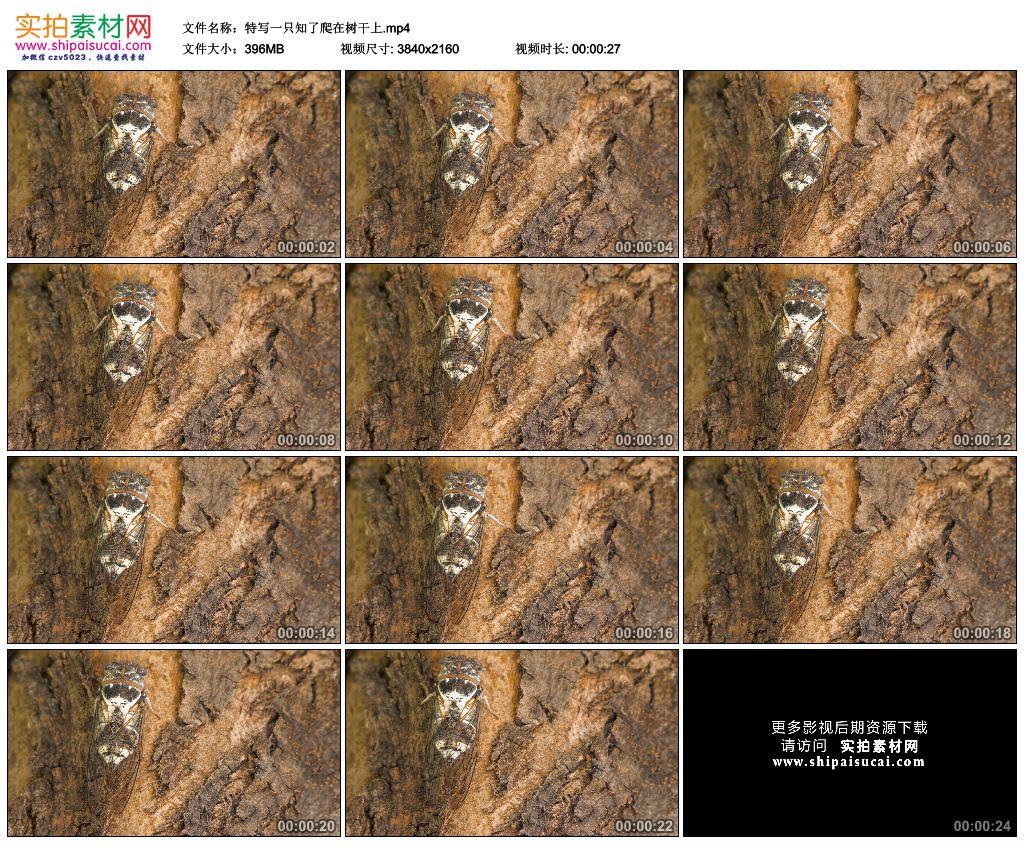 4K实拍视频素材丨特写夏天一只知了爬在树干上 4K视频-第1张