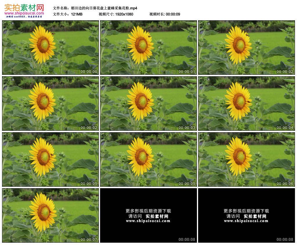高清实拍视频素材丨稻田边的向日葵花盘上蜜蜂采集花粉 视频素材-第1张