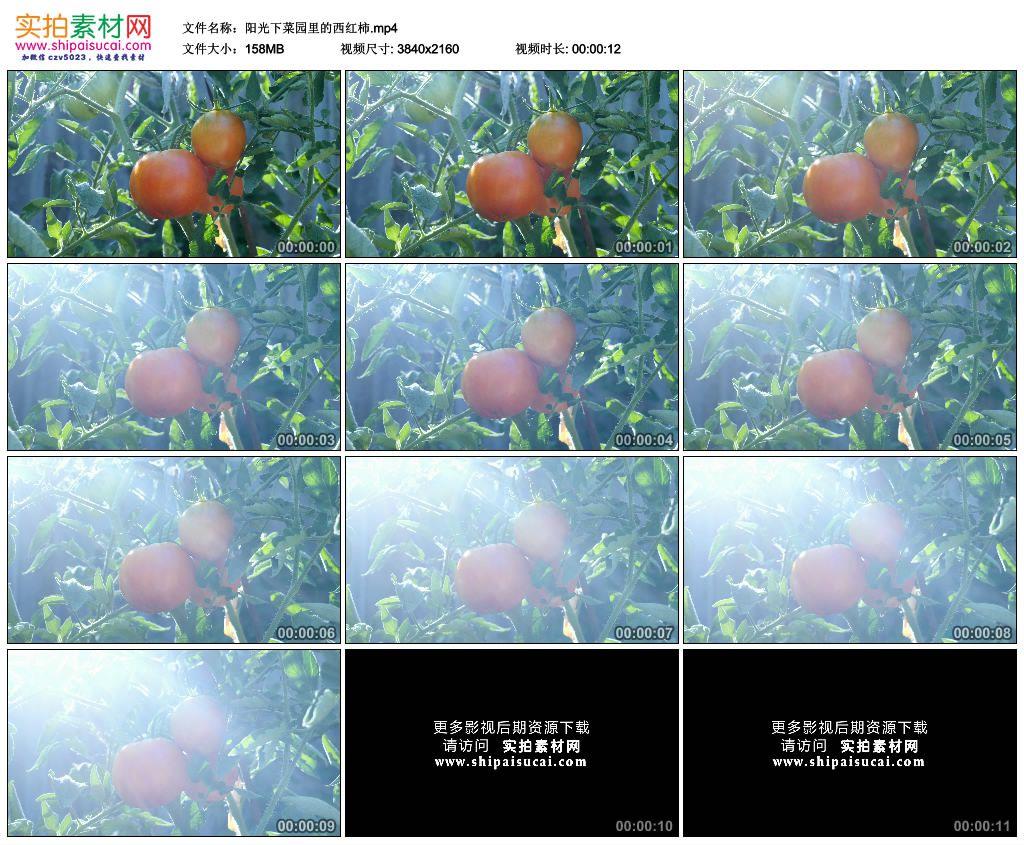 4K实拍视频素材丨阳光下菜园里的西红柿 4K视频-第1张