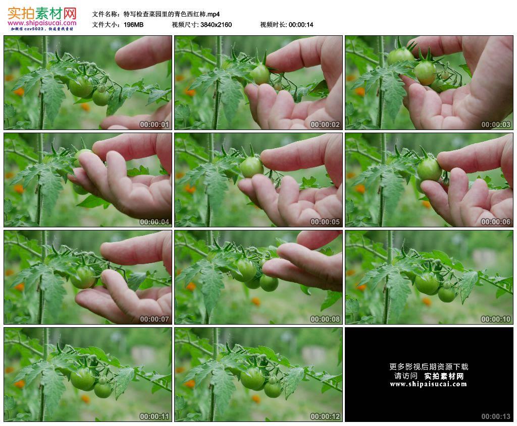 4K实拍视频素材丨特写检查菜园里的青色西红柿 4K视频-第1张