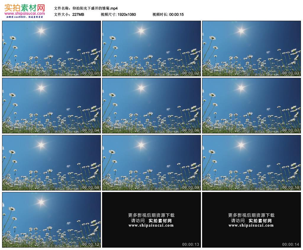 高清实拍视频素材丨仰拍阳光下盛开的雏菊 视频素材-第1张