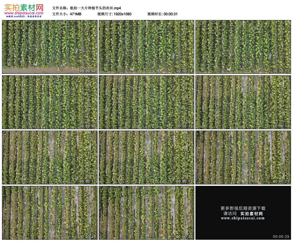 高清实拍视频素材丨航拍一大片种植芋头的农田 视频素材-第1张