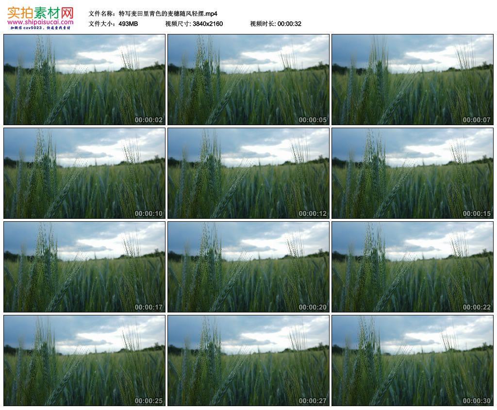 4K实拍视频素材丨特写麦田里青色的麦穗随风轻摆 4K视频-第1张