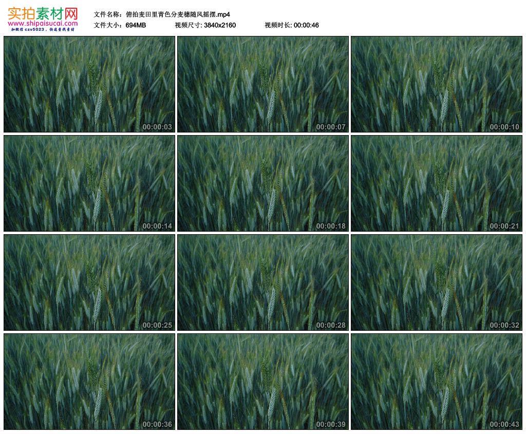 4K实拍视频素材丨俯拍麦田里青色麦穗随风摇摆 4K视频-第1张