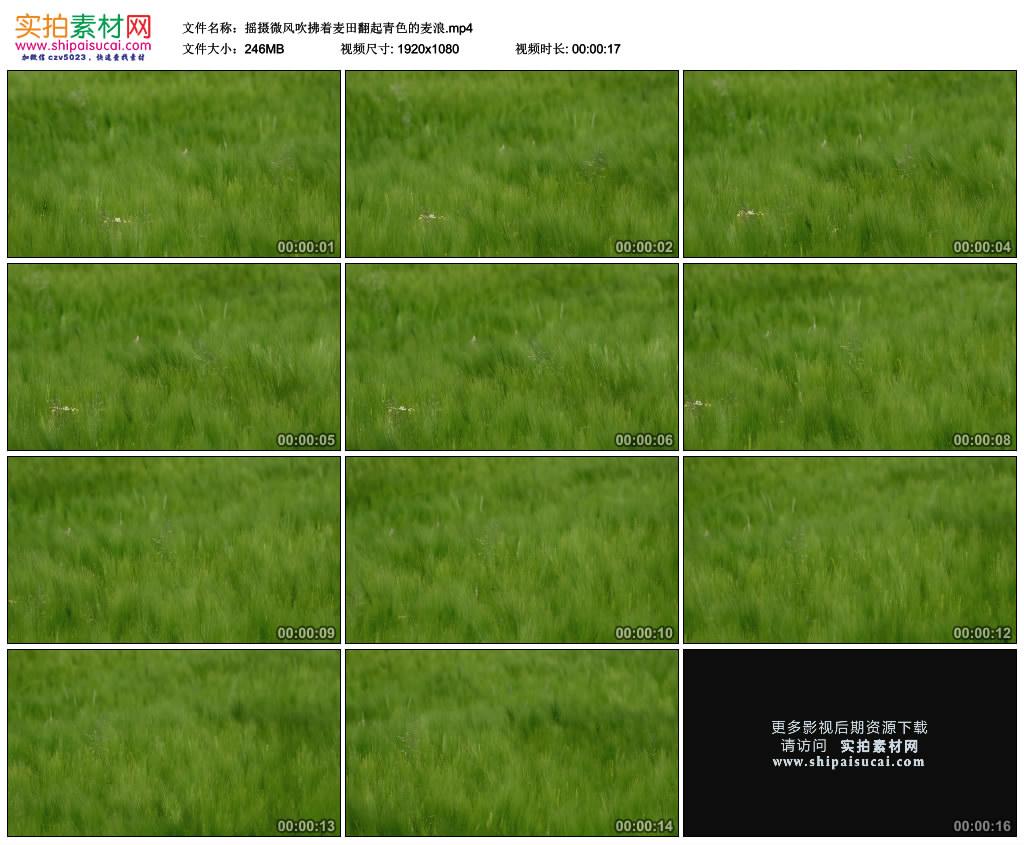 高清实拍视频素材丨摇摄微风吹拂着麦田翻起青色的麦浪 视频素材-第1张
