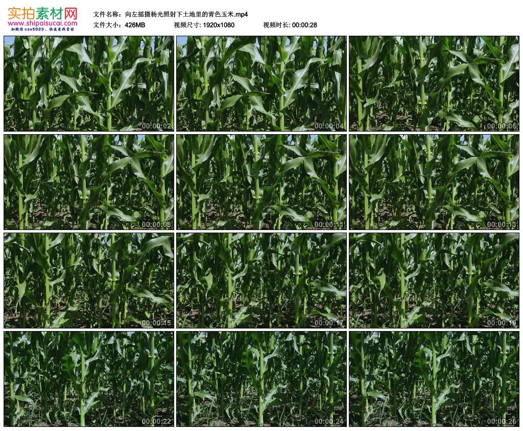 高清实拍视频素材丨向左摇摄阳光照射下土地里的青色玉米 视频素材-第1张
