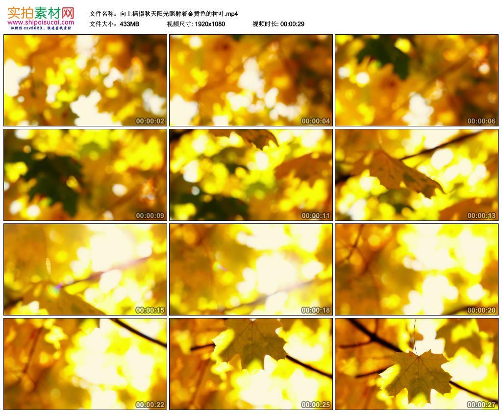 高清实拍视频素材丨向上摇摄秋天阳光照射着金黄色的树叶 视频素材-第1张