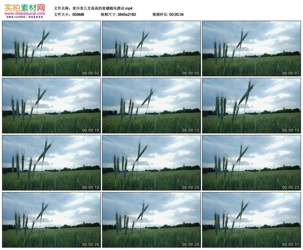 4K实拍视频素材丨麦田里几支高高的麦穗随风摆动 4K视频-第1张