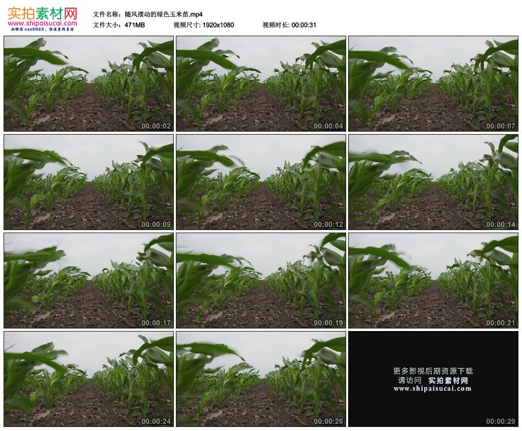 高清实拍视频素材丨随风摆动的绿色玉米苗 视频素材-第1张