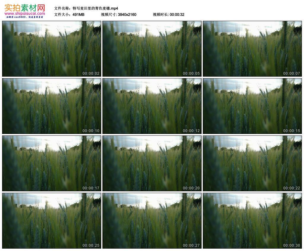 4K实拍视频素材丨特写麦田里的青色麦穗 4K视频-第1张