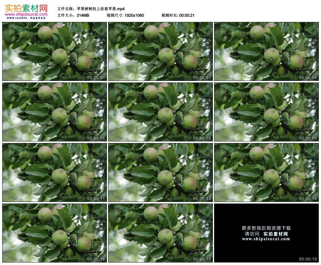 高清实拍视频素材丨苹果树树枝上挂着苹果 视频素材-第1张