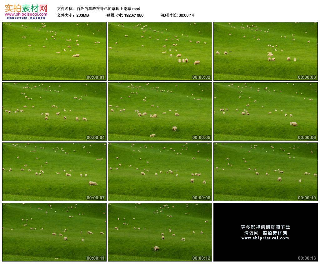 高清实拍视频素材丨白色的羊群在绿色的草地上吃草 视频素材-第1张