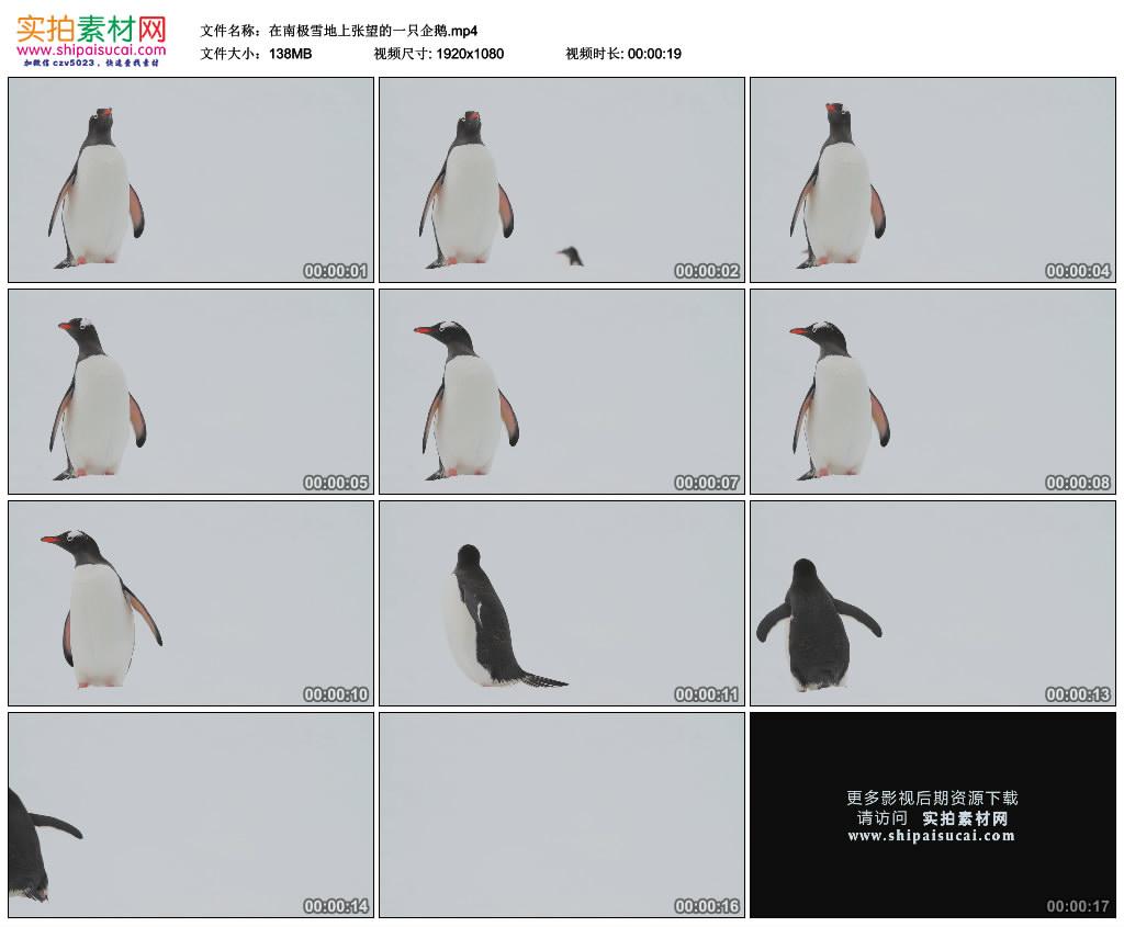 高清实拍视频素材丨在南极雪地上张望的一只企鹅 视频素材-第1张