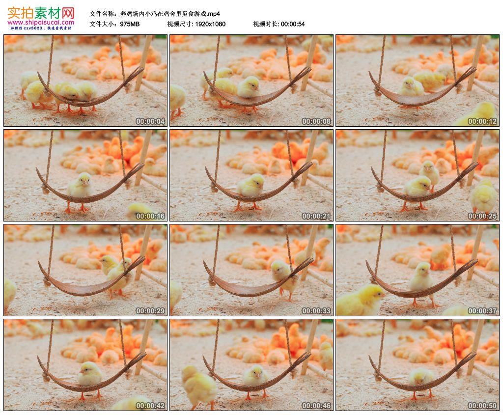 高清实拍视频素材丨养鸡场内小鸡在鸡舍里觅食游戏 视频素材-第1张