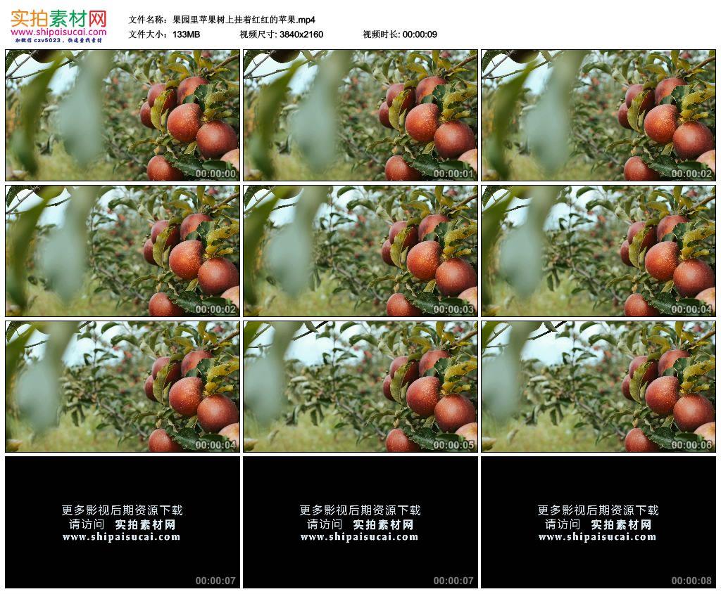 4K实拍视频素材丨果园里苹果树上挂着红红的苹果 4K视频-第1张