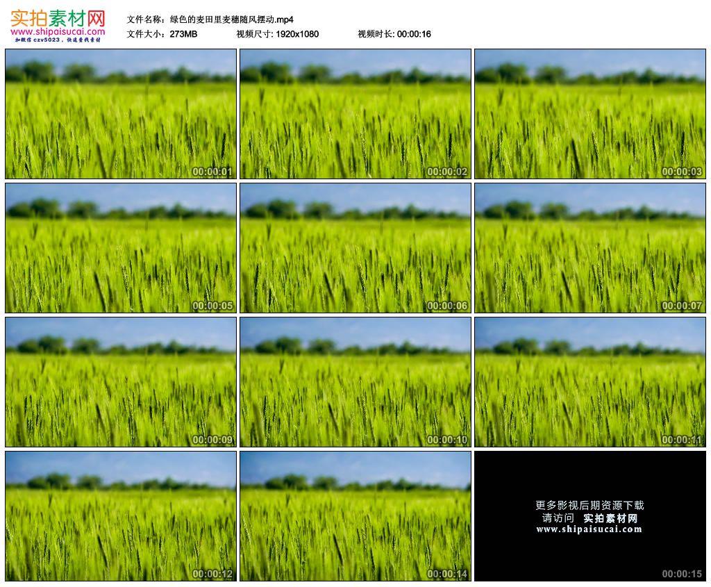 高清实拍视频素材丨绿色的麦田里麦穗随风摆动 视频素材-第1张