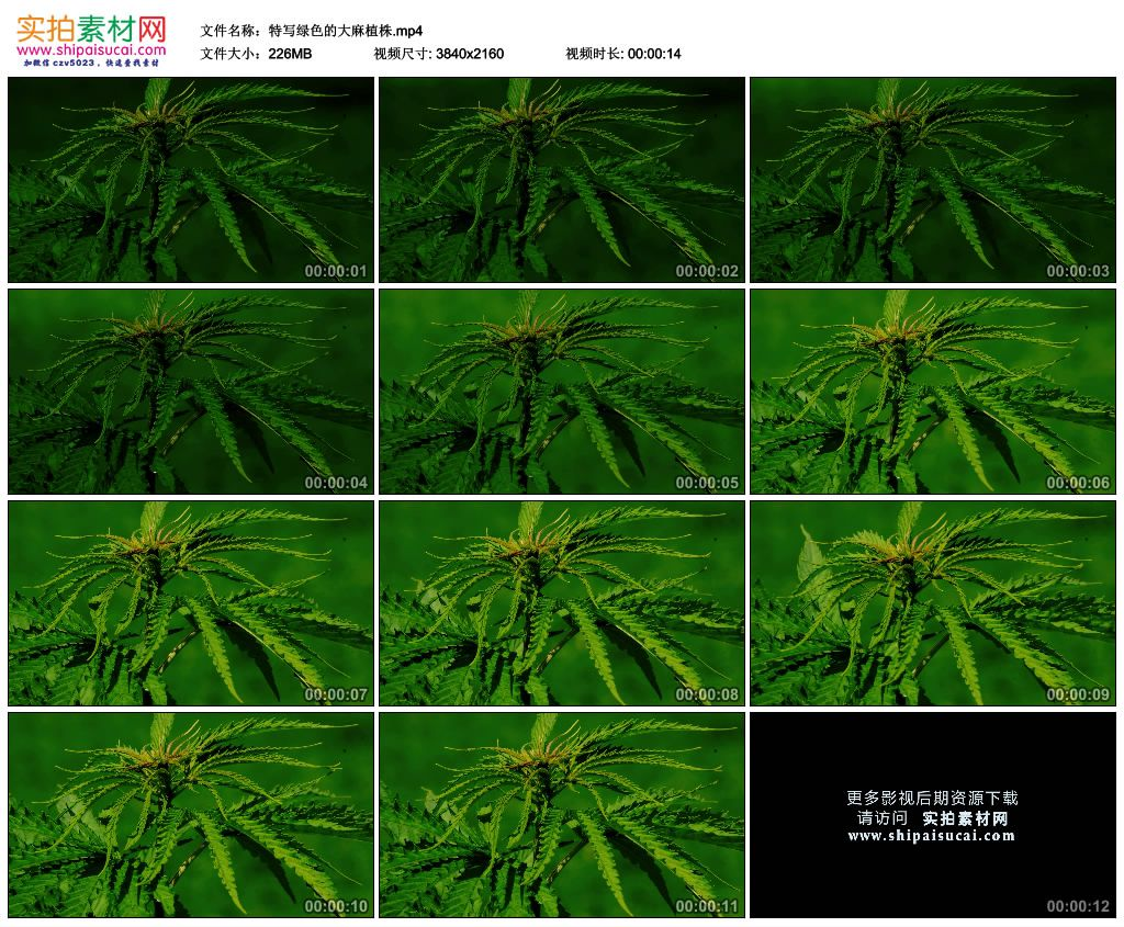 4K实拍视频素材丨特写绿色的大麻植株 4K视频-第1张